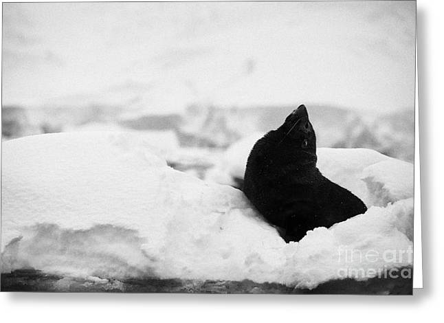 juvenile antarctic fur seal Arctocephalus gazella looking up stretching exaggerating size  floating  Greeting Card