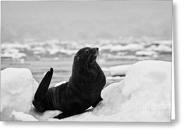 juvenile antarctic fur seal Arctocephalus gazella sirtting up floating on iceberg in Fournier Bay An Greeting Card