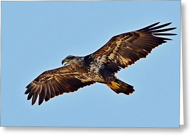Juvenile Bald Eagle In Flight Close Up Greeting Card by Jeff at JSJ Photography