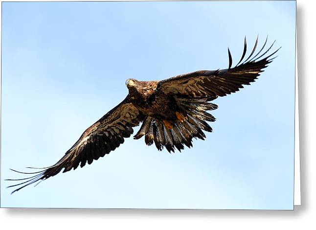 Juvenile Bald Eagle Greeting Card by Mike Farslow