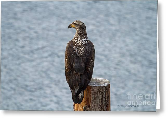 Juvenile Bald Eagle Greeting Card by Beve Brown-Clark Photography