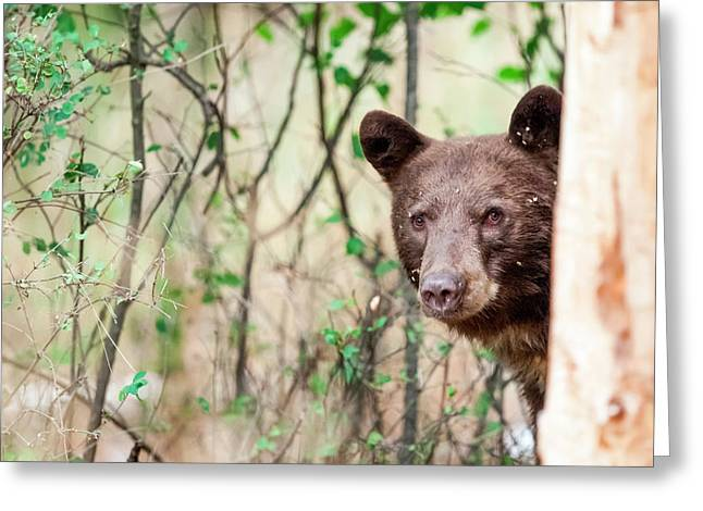 Juvenile Black Bear Portrait, Missoula Greeting Card