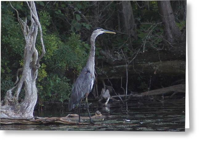 Juvenile Blue Heron At Manistee National Park Greeting Card by Rosemarie E Seppala