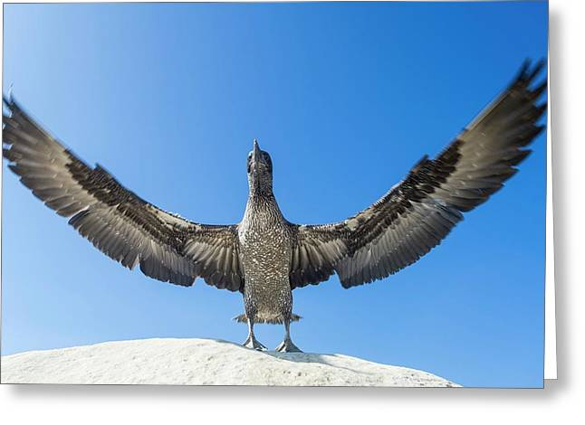 Juvenile Cape Gannet Flapping Its Wings Greeting Card by Peter Chadwick