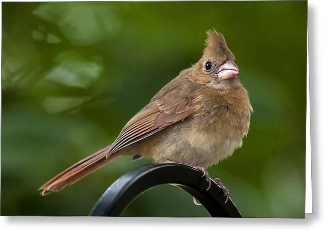 Juvenile Cardinal Greeting Card