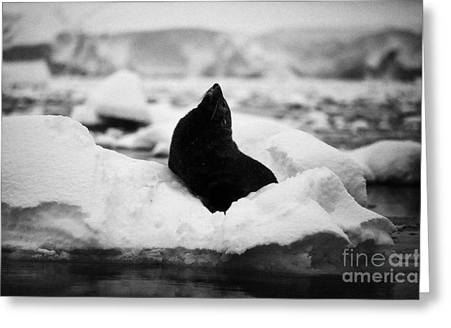 juvenile fur seal looking up stretching exaggerating size  floating on iceberg in Fournier Bay Antar Greeting Card