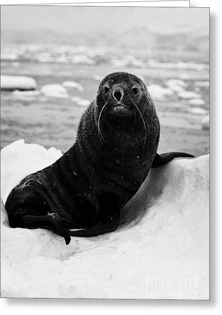 juvenile fur seal sirtting up looking to camera  floating on iceberg in Fournier Bay Antarctica Greeting Card