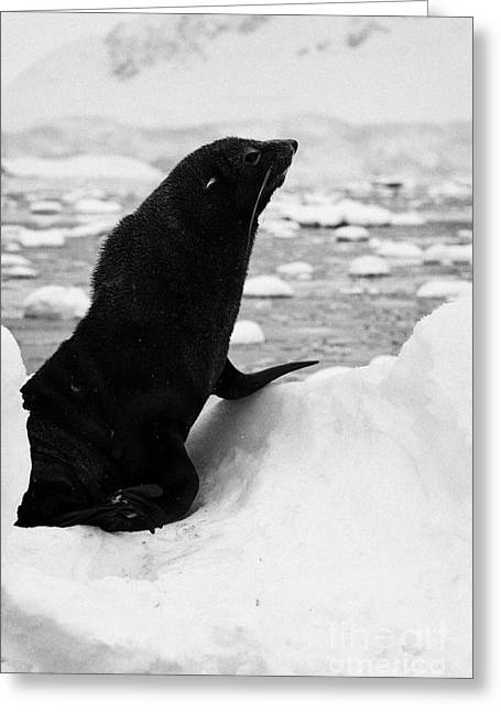juvenile fur seal sitting up floating on iceberg in Fournier Bay Antarctica Greeting Card by Joe Fox