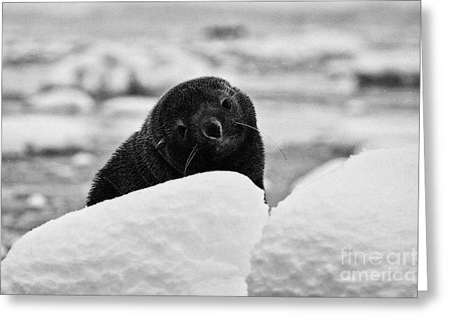 juvenile fur seal with big eyes looking to camera floating on iceberg in Fournier Bay Antarctica Greeting Card by Joe Fox