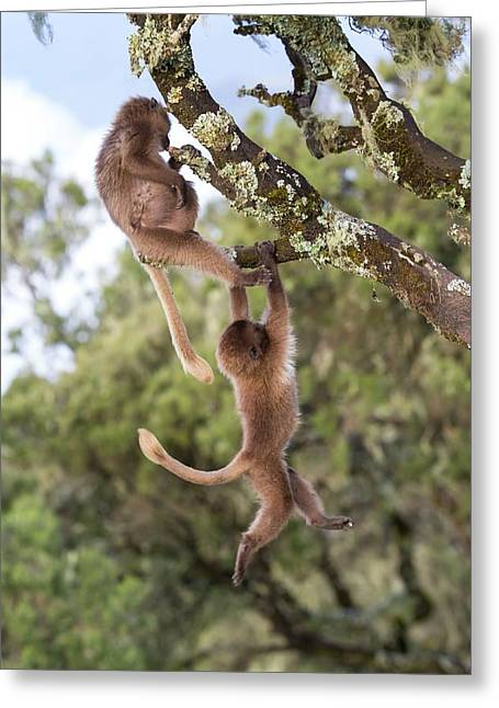 Juvenile Gelada Baboons At Play Greeting Card by Peter J. Raymond