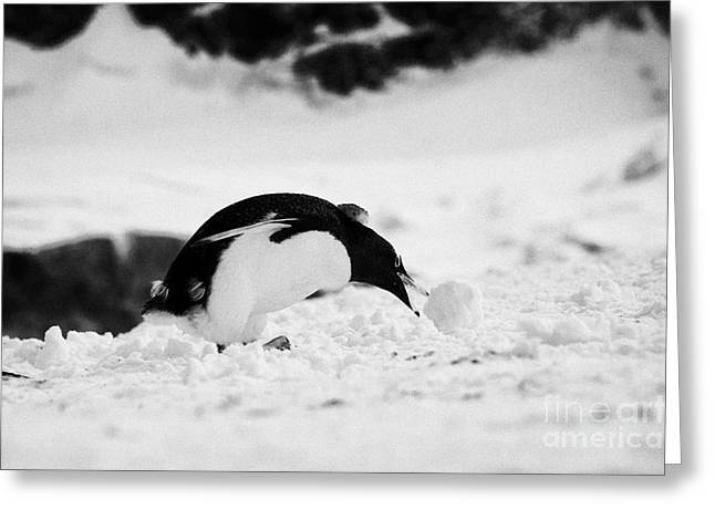 juvenile gentoo penguin Pygoscelis papua rolling picking up ball of snow at Neko Harbour arctowski p Greeting Card