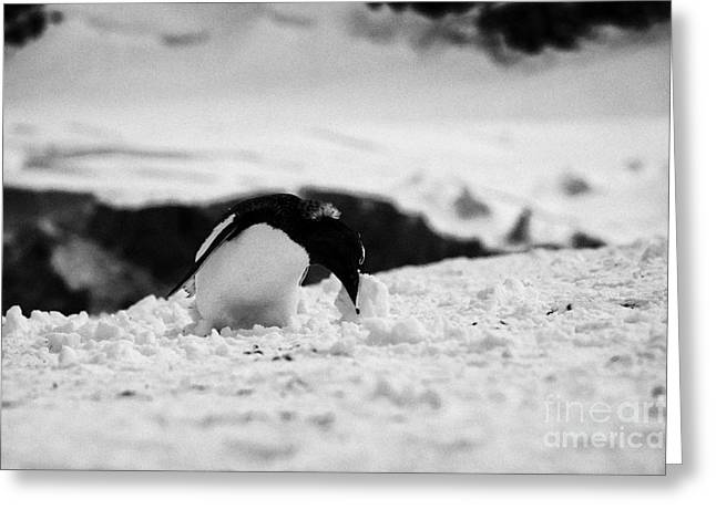 juvenile gentoo penguin rolling picking up ball of snow at Neko Harbour arctowski peninsula Antarcti Greeting Card