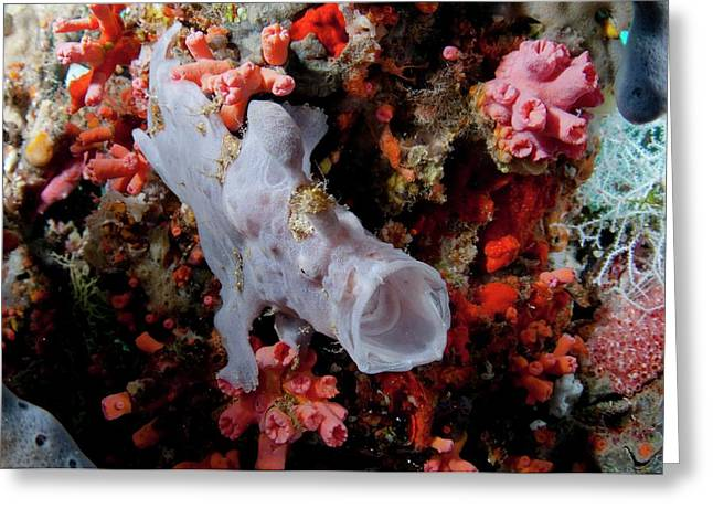 Juvenile Giant Frogfish On Reef Greeting Card by Scubazoo