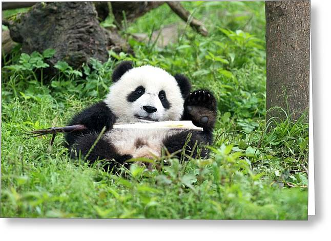 Juvenile Giant Panda Eating Bamboo Greeting Card