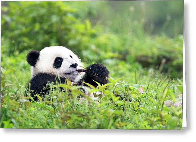 Juvenile Giant Panda Feeding Greeting Card