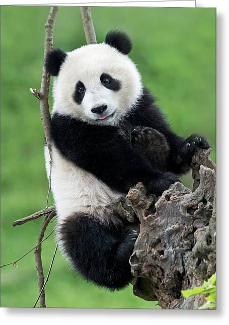 Juvenile Giant Panda Greeting Card by Tony Camacho