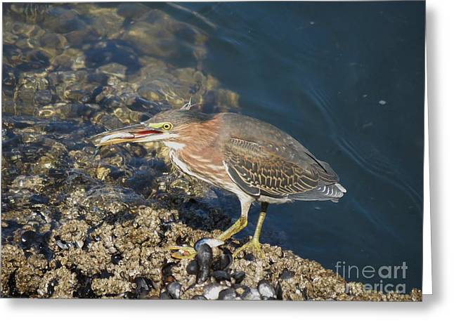 Juvenile Green Heron Greeting Card by Gayle Swigart