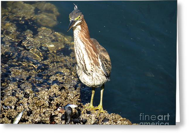 Juvenile Green Heron II Greeting Card by Gayle Swigart