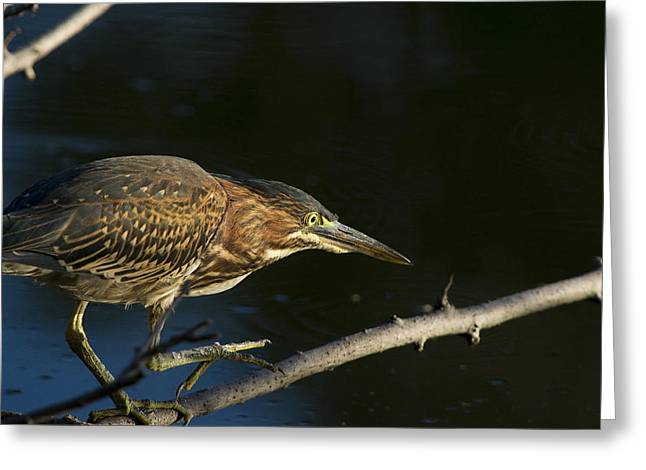 Juvenile Green Heron Greeting Card