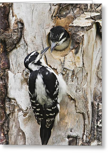 Juvenile Hairy Woodpecker Is Fed Greeting Card by Ray Bulson