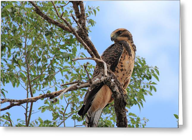 Juvenile Hawk Greeting Card