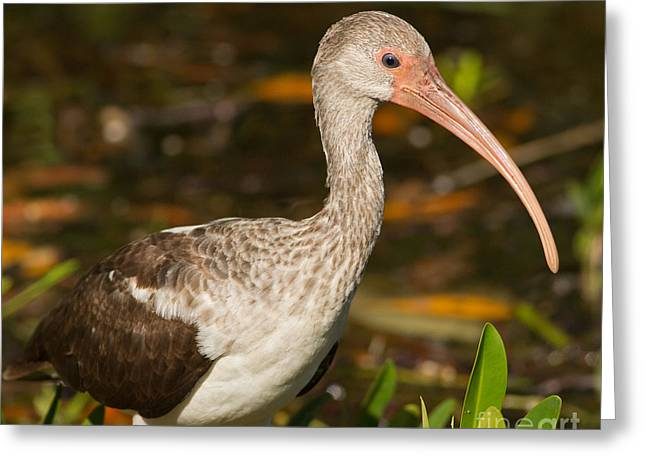 Juvenile Ibis In The Mangroves 2 Greeting Card