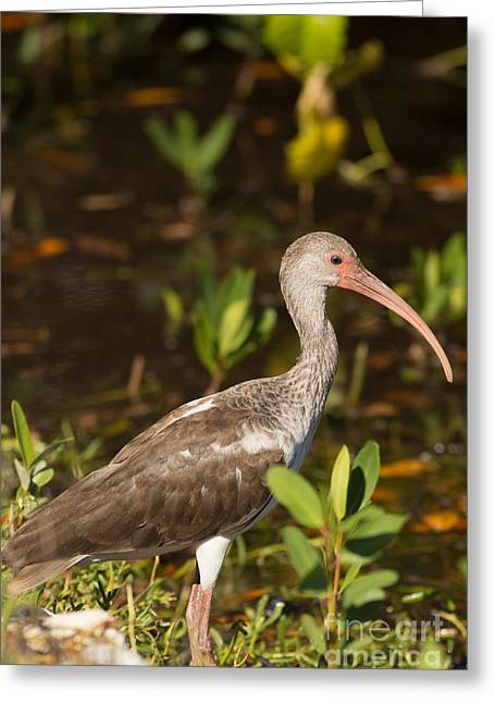Juvenile Ibis In The Mangroves Greeting Card