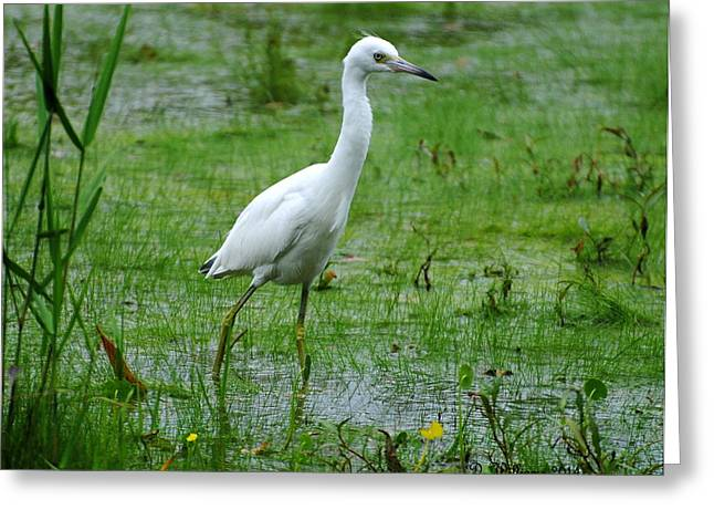 Juvenile Little Blue Heron In Search Of Food Greeting Card