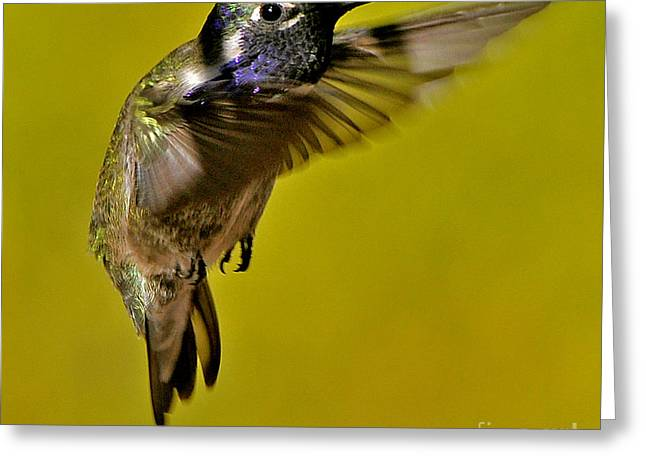Greeting Card featuring the photograph Juvenile Male Allen Hummingbird In Flight Ready To Land by Jay Milo