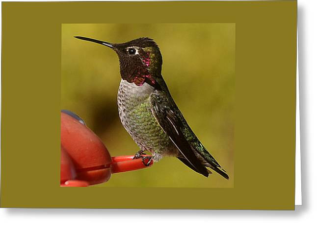 Greeting Card featuring the photograph Juvenile Male Anna by Jay Milo