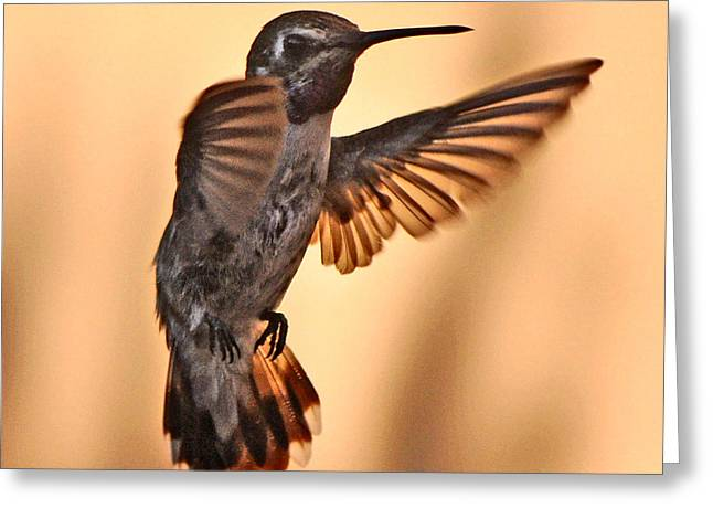 Juvenile Male Anna's In Flight Greeting Card