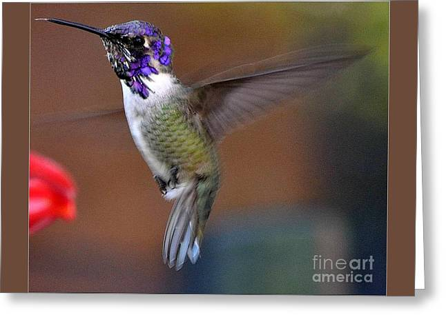 Greeting Card featuring the photograph Juvenile Male Costa by Jay Milo
