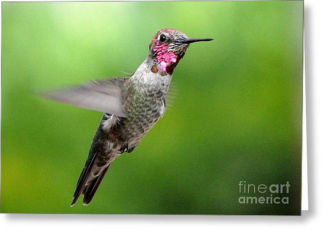Greeting Card featuring the photograph Juvenile Male Anna's In Flight by Jay Milo