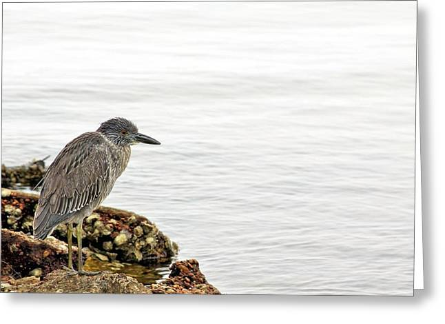 Juvenile Night Heron  Greeting Card by JC Findley