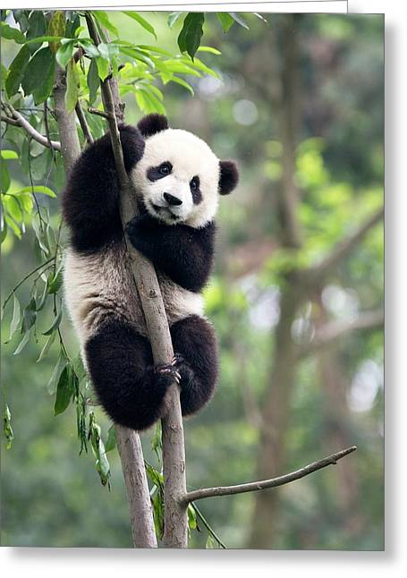 Juvenile Panda Climbing A Tree Greeting Card