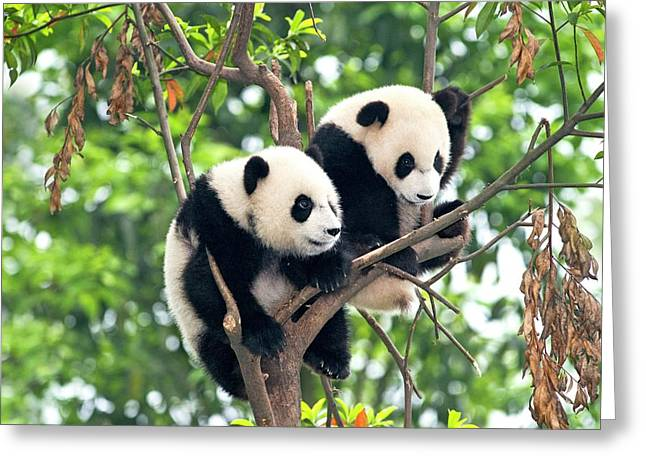 Juvenile Pandas In A Tree Greeting Card