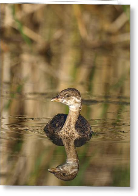 Juvenile Pied-billed Grebe Greeting Card by James Peterson