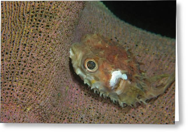 Juvenile Porcupinefish Swimming Greeting Card