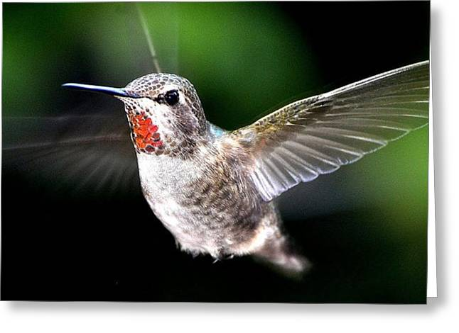 Juvenile Red Thoated Hummingbird Greeting Card
