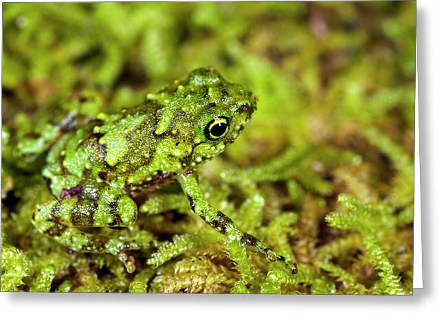 Juvenile Rot-hole Tree Frog Greeting Card by Alex Hyde