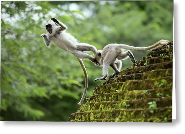 Juvenile Tufted Grey Langurs Greeting Card by Peter J. Raymond