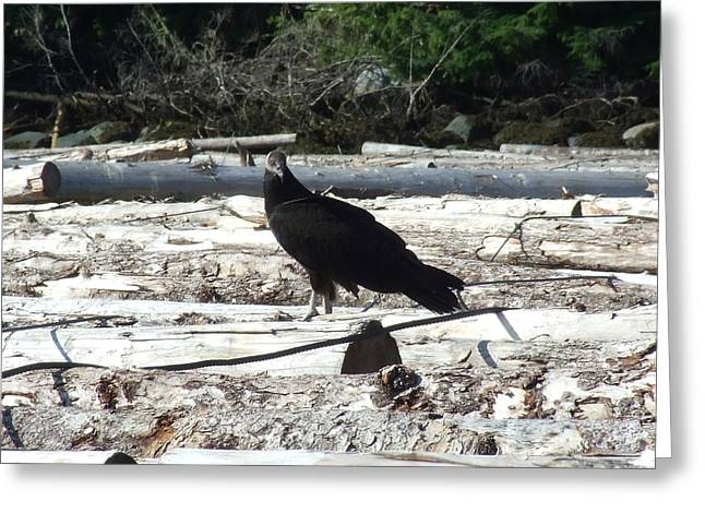 Juvenile Turkey Vulture Greeting Card by Will LaVigne