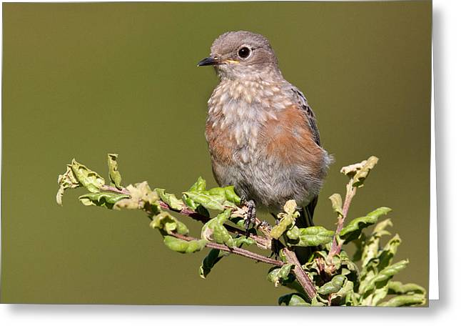 Juvenile Western Bluebird Greeting Card