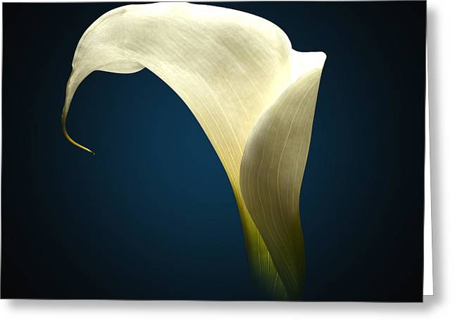 Cala Lily Greeting Card by Mark Ashkenazi