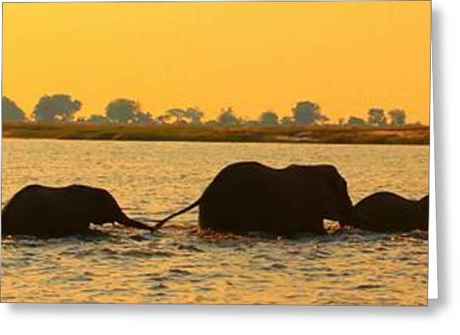 Greeting Card featuring the photograph Kalahari Elephants Crossing Chobe River by Amanda Stadther