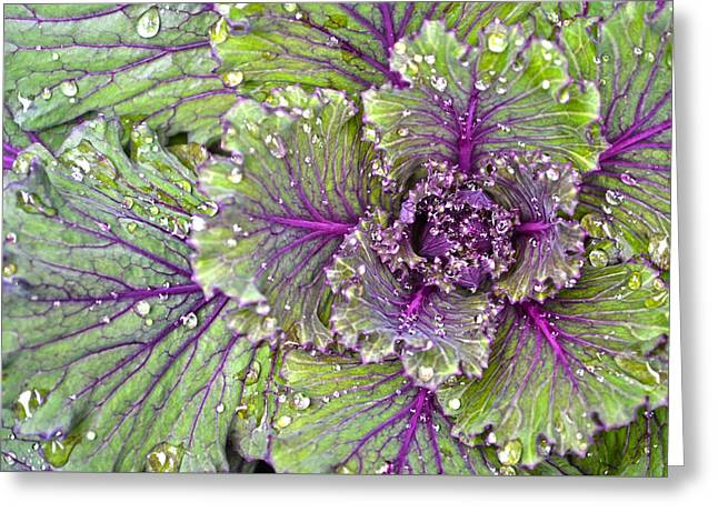 Kale Plant In The Rain Greeting Card