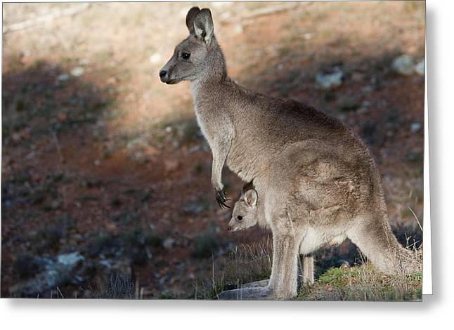 Kangaroo And Joey Greeting Card