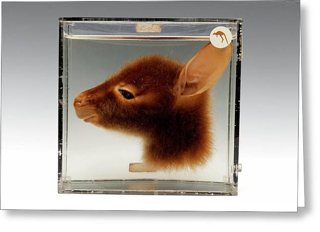 Kangaroo Head Greeting Card by Ucl, Grant Museum Of Zoology