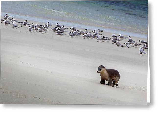 Kangaroo Island, Australia Greeting Card by Janet Muir