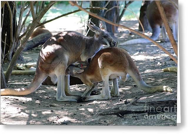 Kangaroo Nurse-6 Greeting Card by Gary Gingrich Galleries